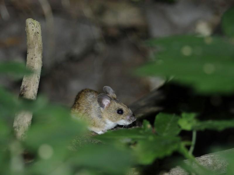 Жертогорлая мышь