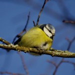 Тhe great tit