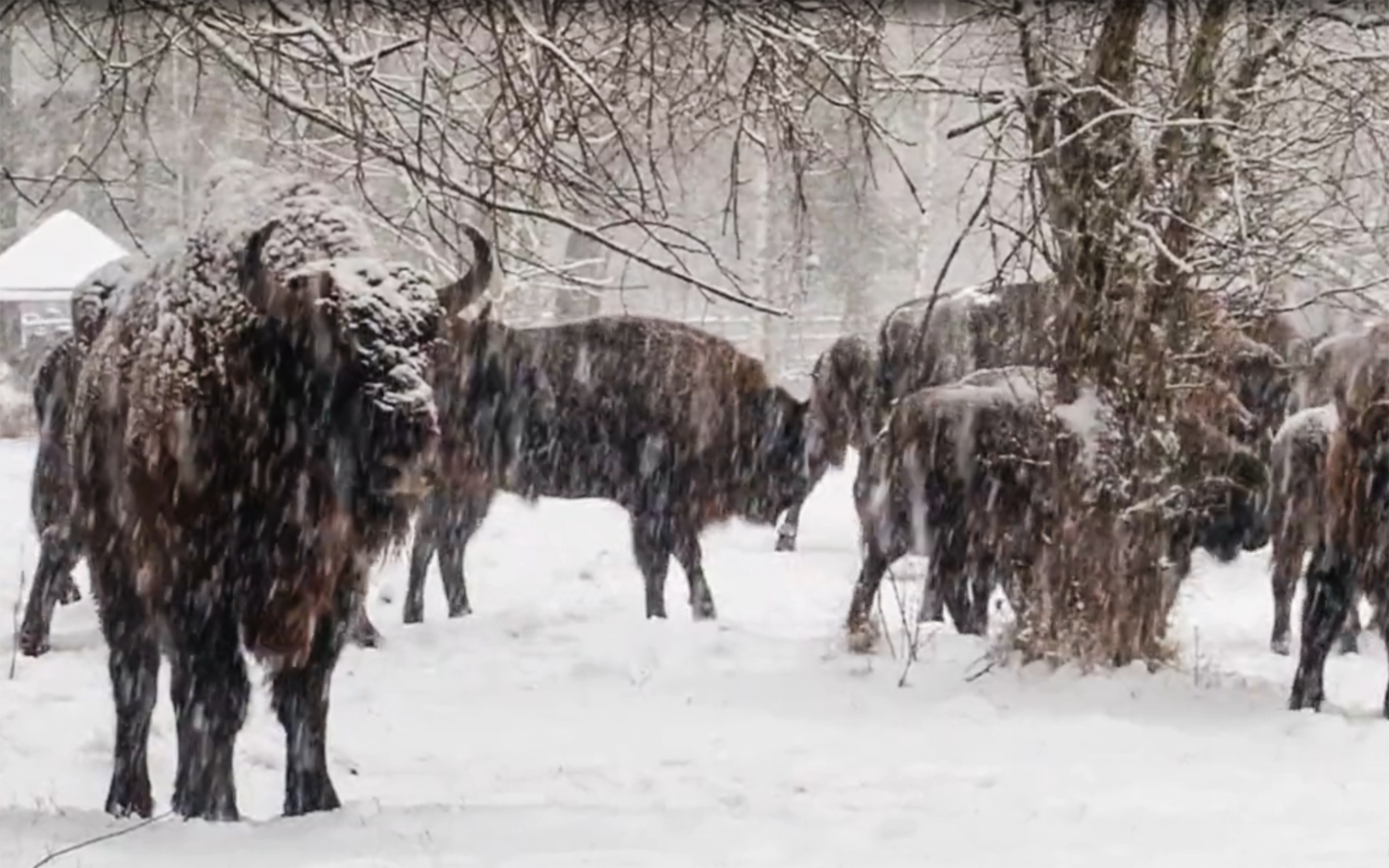 Our young bison started a free life in the forests of Bryansk