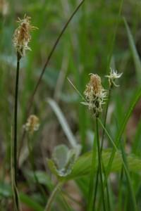 Carex obtusata Liljebl. — Осока притупленная (Михаил Попченко)