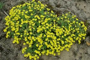 Potentilla arenaria Borkh. — Лапчатка песчаная.(Михаил Попченко)