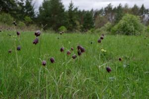 Fritillaria ruthenica — рябчик русский