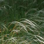 Stipa pennata — Ковыль перистый