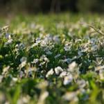 Земляника зеленая (Fragaria viridis)